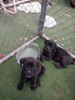 Cane Corso Puppies for sale in Englewood, CO, USA. price: NA