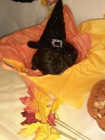 Cane Corso Puppies for sale in Newburgh, NY 12550, USA. price: NA