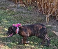 Cane Corso Puppies for sale in Paris, IL 61944, USA. price: NA