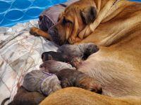 Cane Corso Puppies for sale in Cottondale, FL 32431, USA. price: NA
