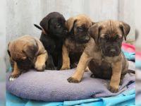 Cane Corso Puppies for sale in Burbank, CA, USA. price: NA