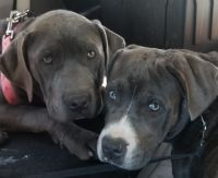 Cane Corso Puppies for sale in 197 Hillside Ave, Newark, NJ 07108, USA. price: NA