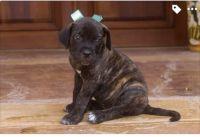 Cane Corso Puppies for sale in Tucson, AZ, USA. price: NA
