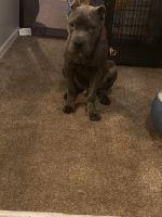 Cane Corso Puppies for sale in Orlando, FL, USA. price: NA