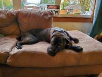 Cane Corso Puppies for sale in 100 Cornwall Cir SE, Poplar Grove, IL 61065, USA. price: NA