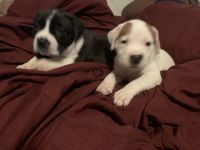 Cane Corso Puppies for sale in Lansdowne, PA 19050, USA. price: NA