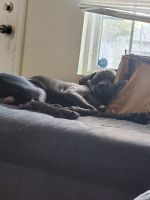 Cane Corso Puppies for sale in 912 Seymour Ave, Columbus, OH 43206, USA. price: NA