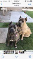 Cane Corso Puppies for sale in Riverside-San Bernardino-Ontario, CA, CA, USA. price: NA