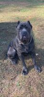 Cane Corso Puppies for sale in Cleveland, TN, USA. price: NA