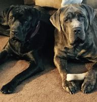 Cane Corso Puppies for sale in Harrisburg, PA, USA. price: NA