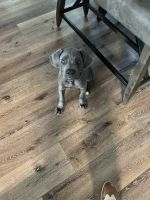 Cane Corso Puppies for sale in Destin, FL 32541, USA. price: NA