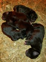 Cane Corso Puppies for sale in Fairy Stone Park Rd, Blue Ridge, VA 24088, USA. price: NA