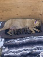 Cane Corso Puppies for sale in Fontana, CA, USA. price: NA