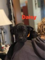 Cane Corso Puppies for sale in New Castle, IN 47362, USA. price: NA