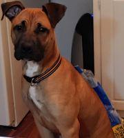 Cane Corso Puppies for sale in Greensboro, NC, USA. price: NA