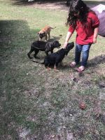 Cane Corso Puppies for sale in Summerville, SC, USA. price: NA