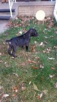 Cane Corso Puppies for sale in Gary, IN, USA. price: NA
