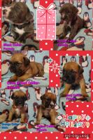 Cane Corso Puppies for sale in Bethel, PA 19507, USA. price: NA