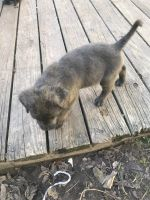 Cane Corso Puppies for sale in 16326 Alametos Dr, Houston, TX 77083, USA. price: NA