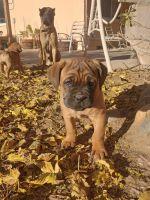 Cane Corso Puppies for sale in Hesperia, CA, USA. price: NA