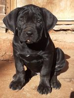 Cane Corso Puppies for sale in Woodstock, GA, USA. price: NA