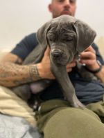 Cane Corso Puppies for sale in Los Angeles, CA 90013, USA. price: NA