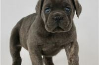 Cane Corso Puppies for sale in Sylmar, Los Angeles, CA, USA. price: NA