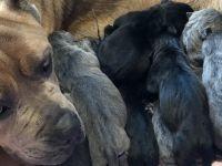 Cane Corso Puppies for sale in Belle Chasse, LA, USA. price: NA