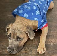 Cane Corso Puppies for sale in GA-36, Covington, GA, USA. price: NA