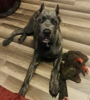 Cane Corso Puppies for sale in Slidell, LA, USA. price: NA