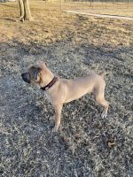 Cane Corso Puppies for sale in Denton, TX, USA. price: NA