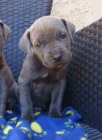 Cane Corso Puppies for sale in Henderson, NV, USA. price: NA