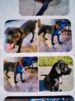 Cane Corso Puppies for sale in Hayward, CA, USA. price: NA