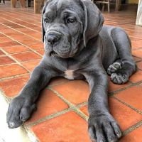 Cane Corso Puppies for sale in Fort Worth, TX, USA. price: NA