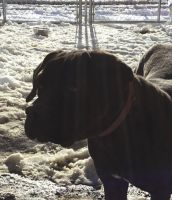 Cane Corso Puppies for sale in Philadelphia, PA, USA. price: NA