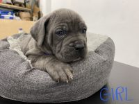 Cane Corso Puppies for sale in Valley Glen, CA 91401, USA. price: NA