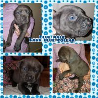 Cane Corso Puppies for sale in Pleasantville, PA 15521, USA. price: NA