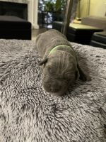 Cane Corso Puppies for sale in Barnegat Township, NJ, USA. price: NA