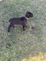 Cane Corso Puppies for sale in Glendale, CA, USA. price: NA