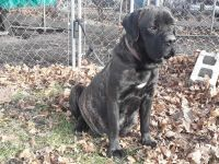 Cane Corso Puppies for sale in Mahoning County, OH, USA. price: NA