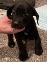 Cane Corso Puppies for sale in Livingston, TX 77351, USA. price: NA