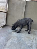 Cane Corso Puppies for sale in Acton, CA 93510, USA. price: NA