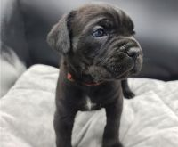 Cane Corso Puppies for sale in Houston, TX, USA. price: NA