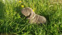 Cane Corso Puppies for sale in Seminole, OK, USA. price: NA