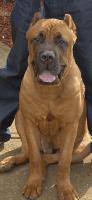 Cane Corso Puppies for sale in Lithonia, GA 30058, USA. price: NA