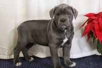 Cane Corso Puppies for sale in Great Falls, SC 29055, USA. price: NA