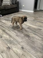 Cane Corso Puppies for sale in La Habra, CA 90631, USA. price: NA