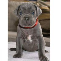 Cane Corso Puppies for sale in Texas, Cockeysville, MD 21030, USA. price: NA