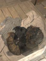 Cane Corso Puppies Photos