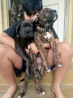 Cane Corso Puppies for sale in Jacksonville, FL, USA. price: NA